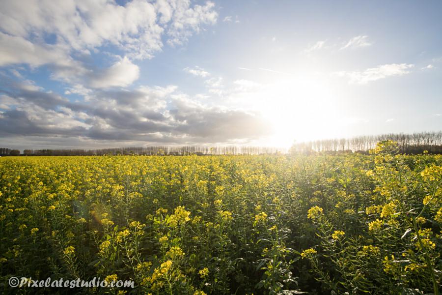 Mooie foto gele koolzaad bloemen, mooie foto met tegenlicht