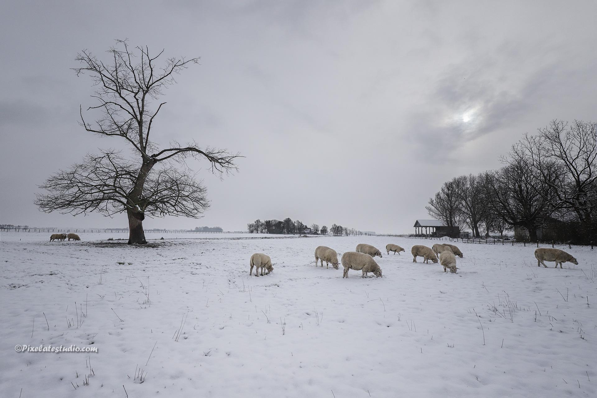 Winterfoto met schapen