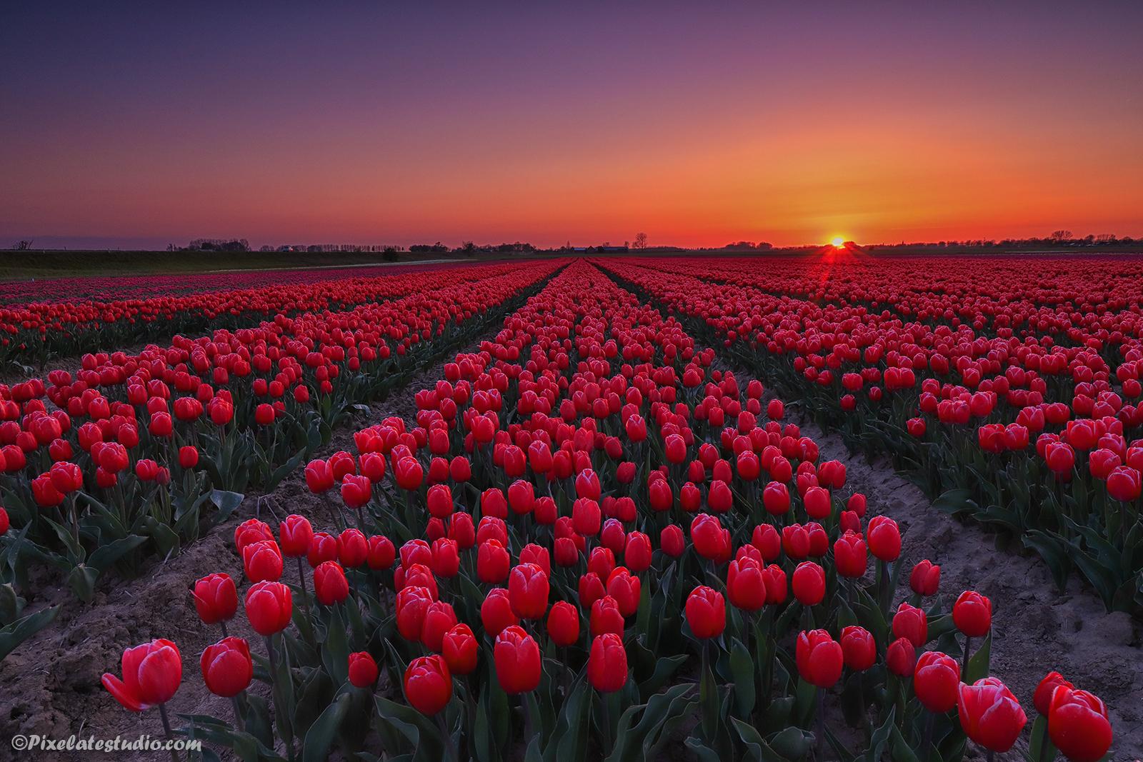 mooie foto's van de tulpenvelden in Zeeuws-Vlaanderen, Hollandse plaatjes, Dreigende lucht, Zonsondergang, Rode tulp, Roze tulp