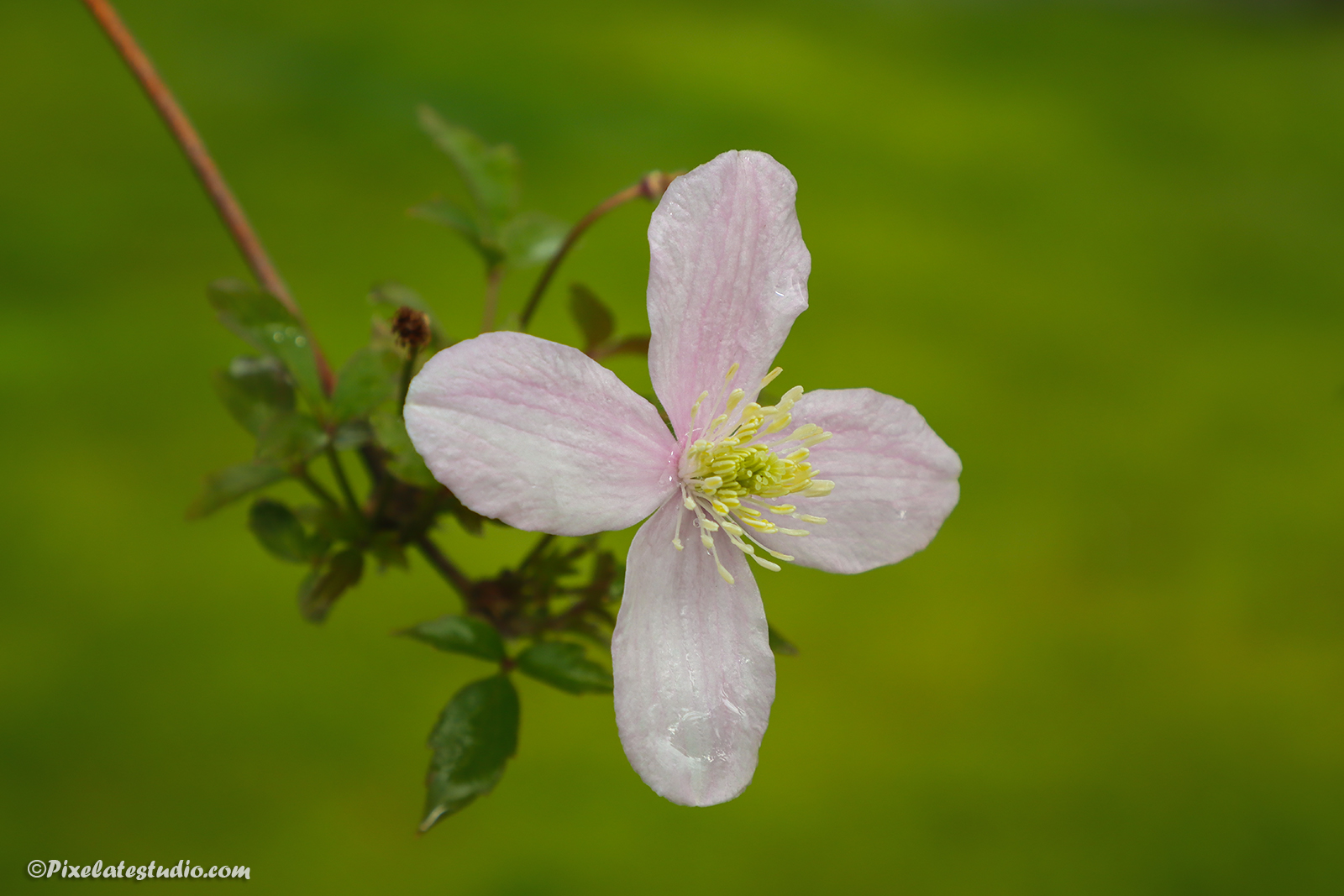 mooie foto van de Roze Clematis bloem met vage achtergrond