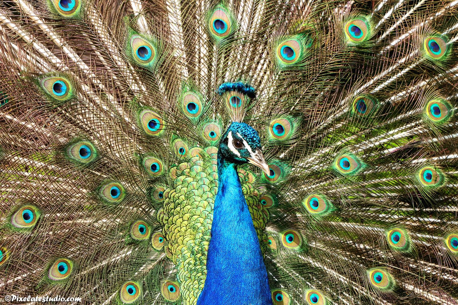 Mooie foto van een pauw die zijn veren uitzet