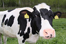 Picture of a funny cow