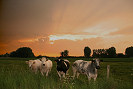 Picture of cows at sunset