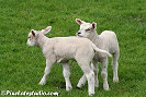Spring picture of two young lambs