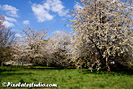 Spring picture of white blossom