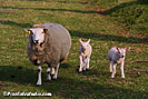 Spring picture of a sheep with young lambs