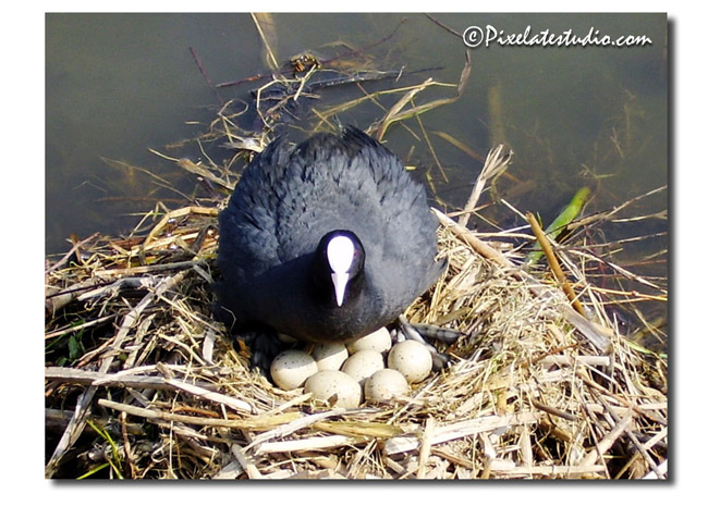 Spring picture, bird with nest of eggs