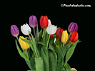 Free Tulip Wallpaper, Tulip Background pc