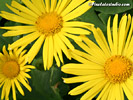 Yellow Flower Wallpaper, Wallpaper of three yellow Flowers, Flowers pc Background