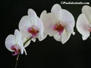 Beautiful Wallpaper of an orchid, orchid pc Background pc