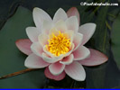 Waterlily Wallpaper, Waterlily background pc, pc background waterlily