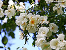 Spring Wallpaper, white blossom Wallpaper