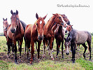 group of wild horses wallpaper