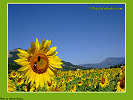 Field ful of sunflowers background pc, Sunflower Wallpaper