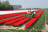 Fields full of tulips, picture of tulipfields in Holland