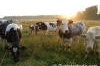 Dutch cows at the country side at sunrise, beautiful sunrise, picture, photo, image of the dutch country side