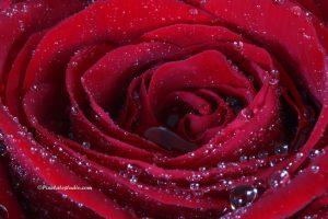 Close up foto van een rode roos
