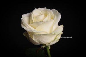 Foto van een witte roos met zwarte achtergrond