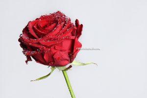 foto van een Rode roos met witte achtergrond