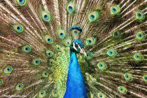 mooie foto van een trotse pauw die zijn verenpracht laat zien
