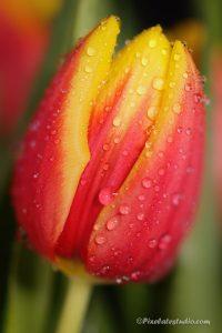 mooie close up foto van een tulp met waterdruppels