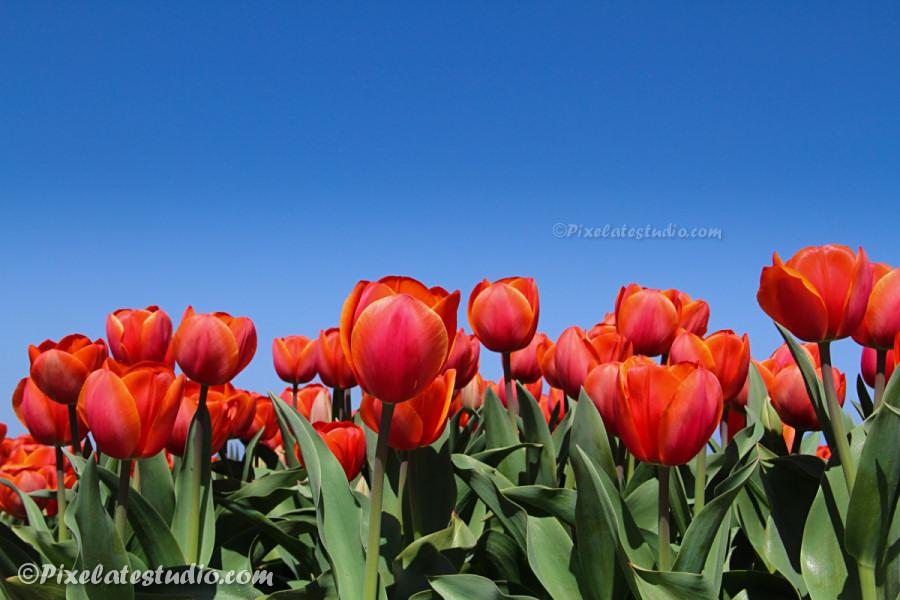 informatie over tulpen