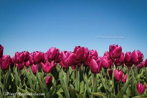 foto van paarse tulpen met blauwe lucht