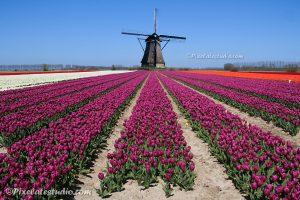 Foto van molen met tulpenveld, molen en tulpen