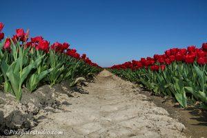 Rode tulpen , tulpenveld