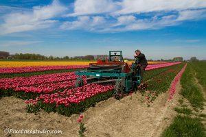 werk om de tulpen af te rijden