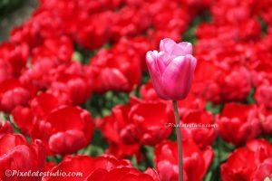 Tulpen foto
