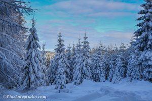 Besneeuwde kerstbomen