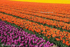 foto van veld met tulpen