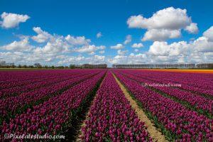 foto van een paars tulpenveld