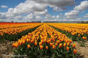 foto van geel tulpenveld