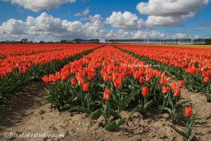 foto van een oranje tulpenveld