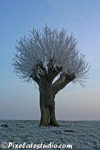 Rijp op wilgen boom