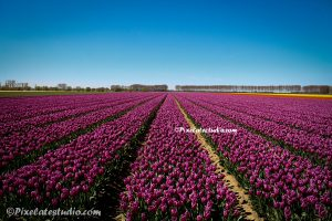 paarse tulpenveld met blauwe lucht