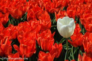 rode tulpen met in het midden een witte tulp