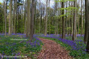 Wilde Hyacinten in het bos