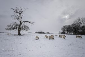 Winterfoto, foto met sneeuw, schapen en een mooi winterlandschap