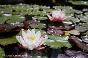 foto van 2 waterlelies