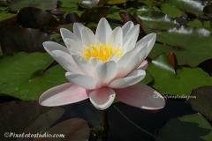 foto's van de waterlelie , waterlelies in de vijver