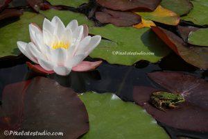 foto van een waterlelie met een groene kikker op het waterlelie blad