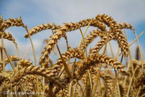 foto van het graan