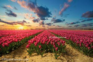 tulpenveld met zonsondergang