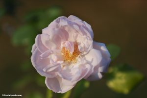 mooie rozen foto