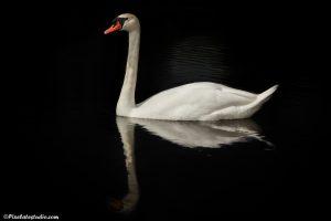 mooie foto van een Witte Zwaan, met donkere achtergrond