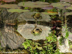 foto van een kikker in de vijver