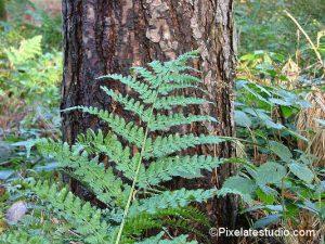 foto varens in het bos